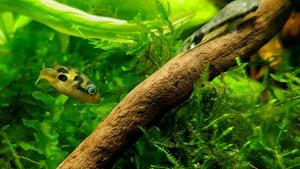 Kleiner Fisch schwimmt in erleuchtetem Aquarium