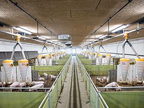 LED-Beleuchtung im Schweinestall
