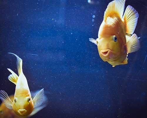 Zwei Fische schwimmen in einem Aquarium