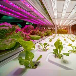 Pflanzen im Gewächshaus werden mit weißem und violetten Licht beleuchtet